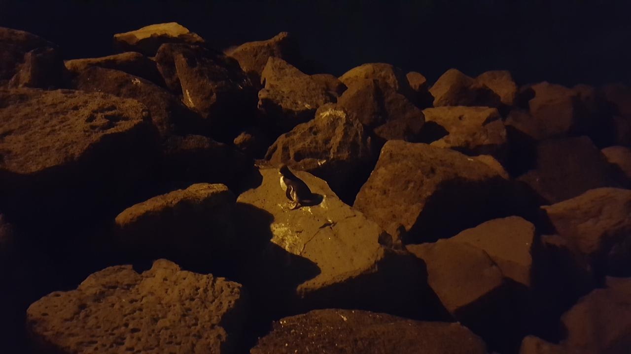 pose pingouin St Kilda