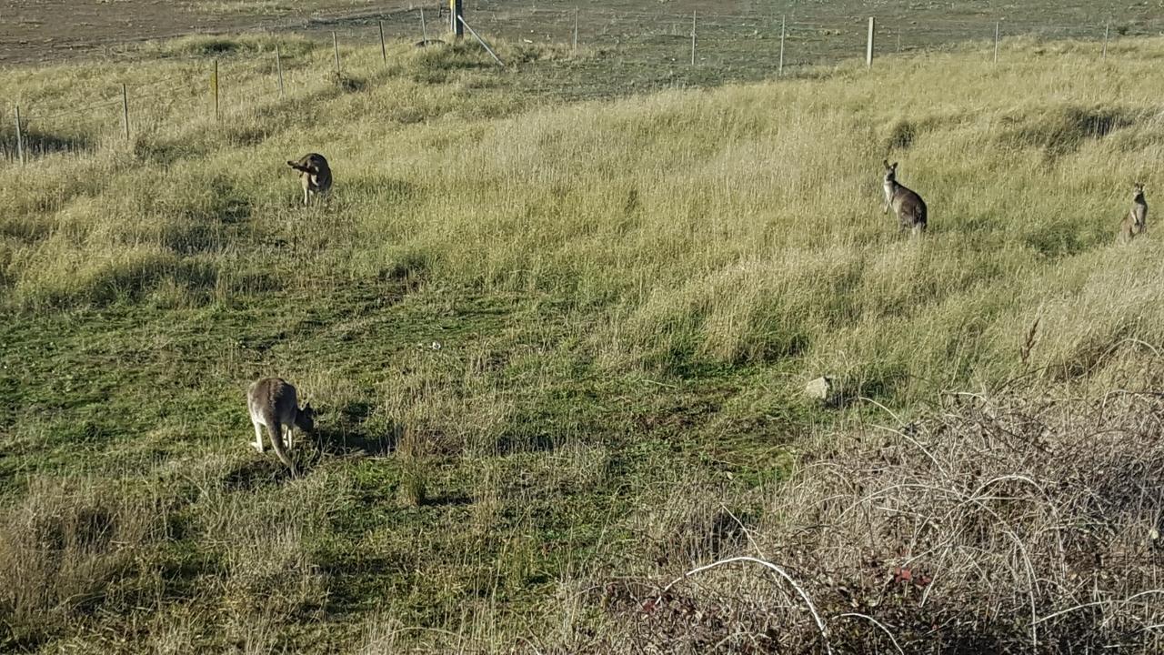 kangourous canberra free camp