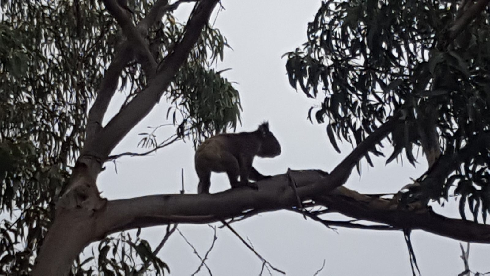 Koala en mouvement