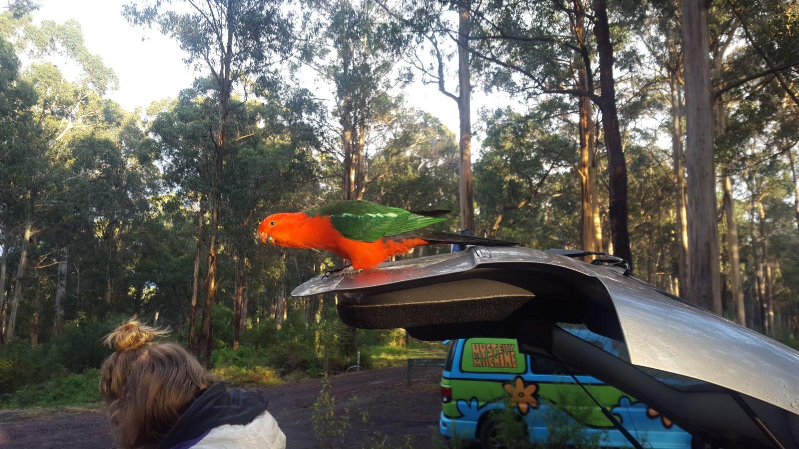 perroquet camping lorne