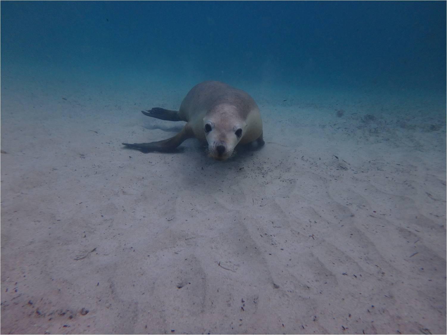 Curiosité Sea Lions
