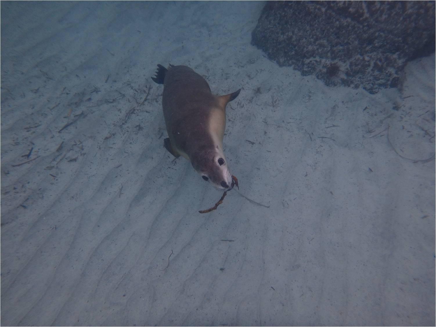 Bâton sea lions