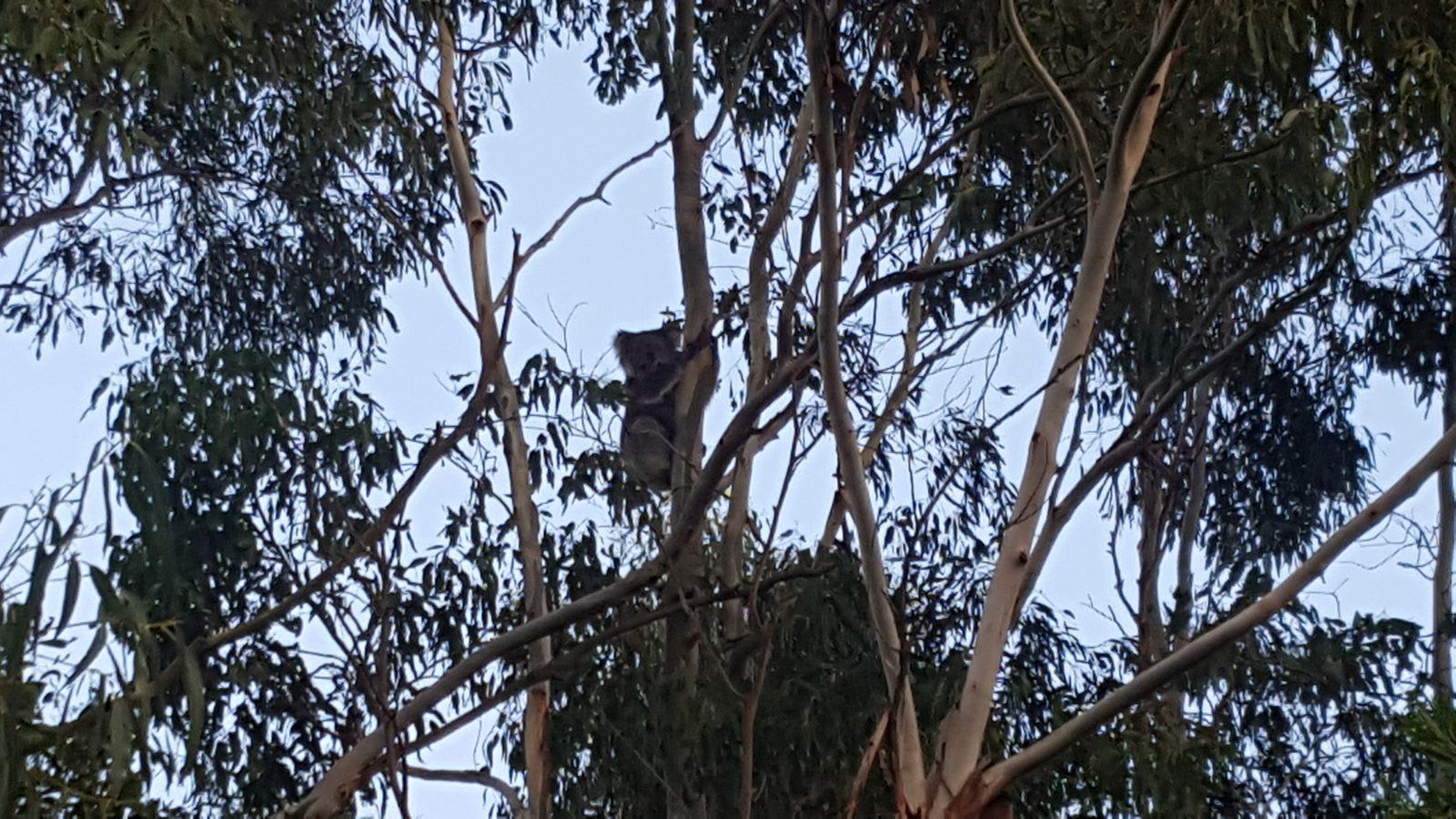 Koala matin