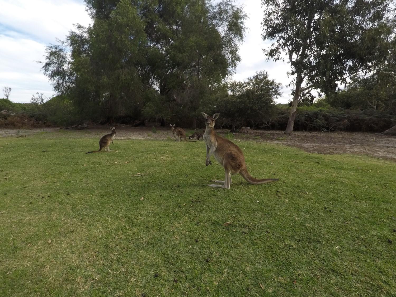 Gang Kangourous