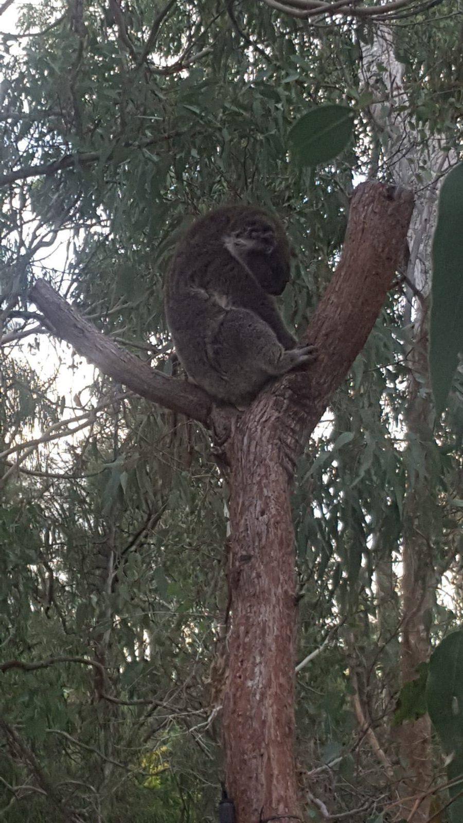 Sommeil koala