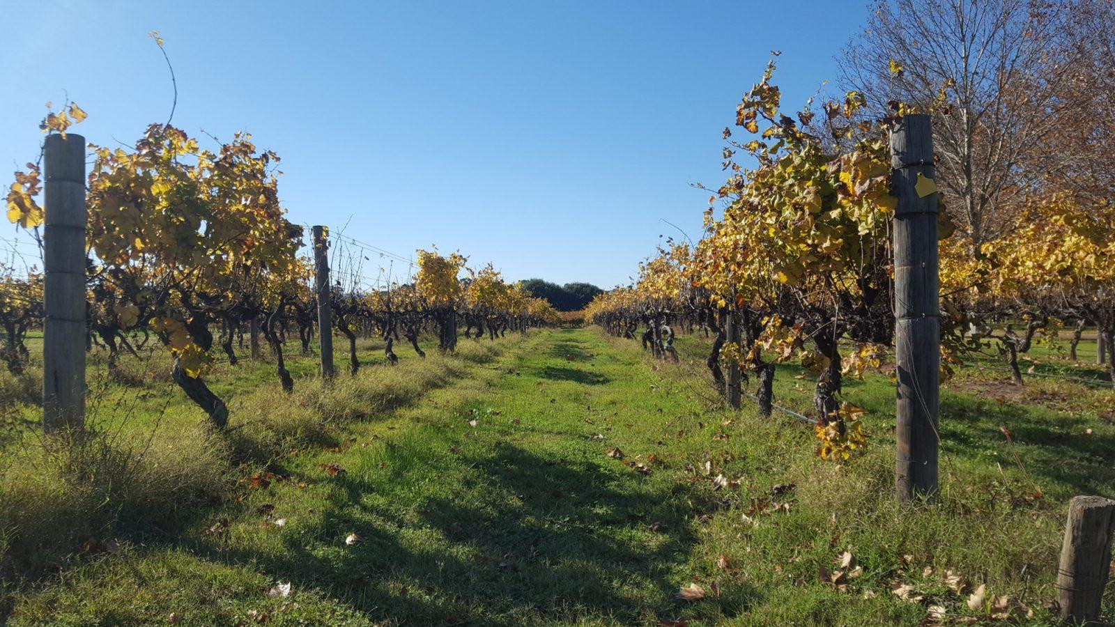 Vignes Sandalford Wines