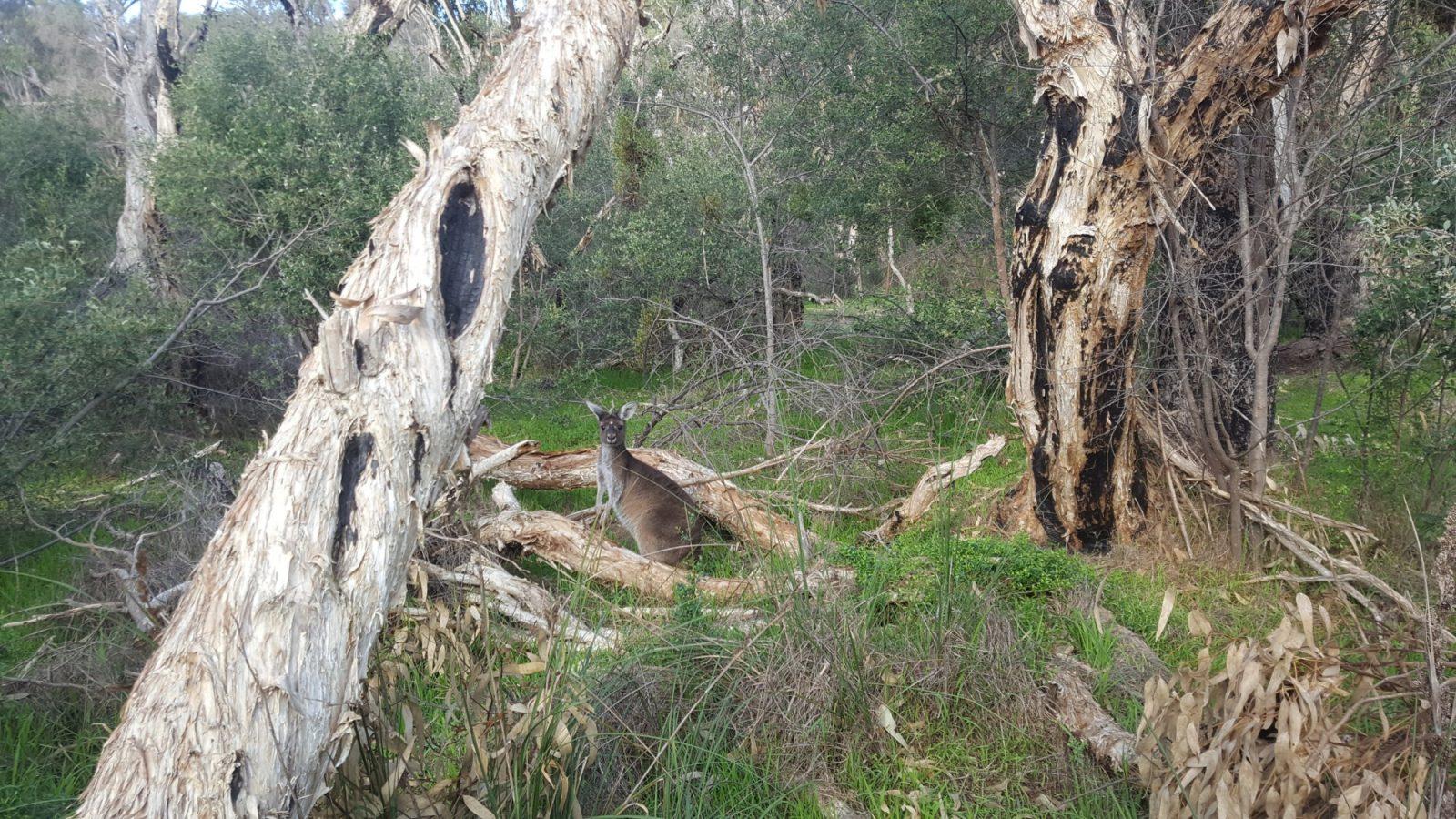 Kangourou Yanchep National Park