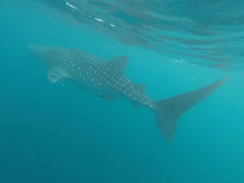 requin-baleine GoPro