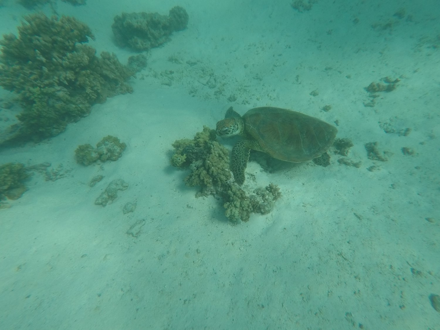 Tortue Turquoise Bay