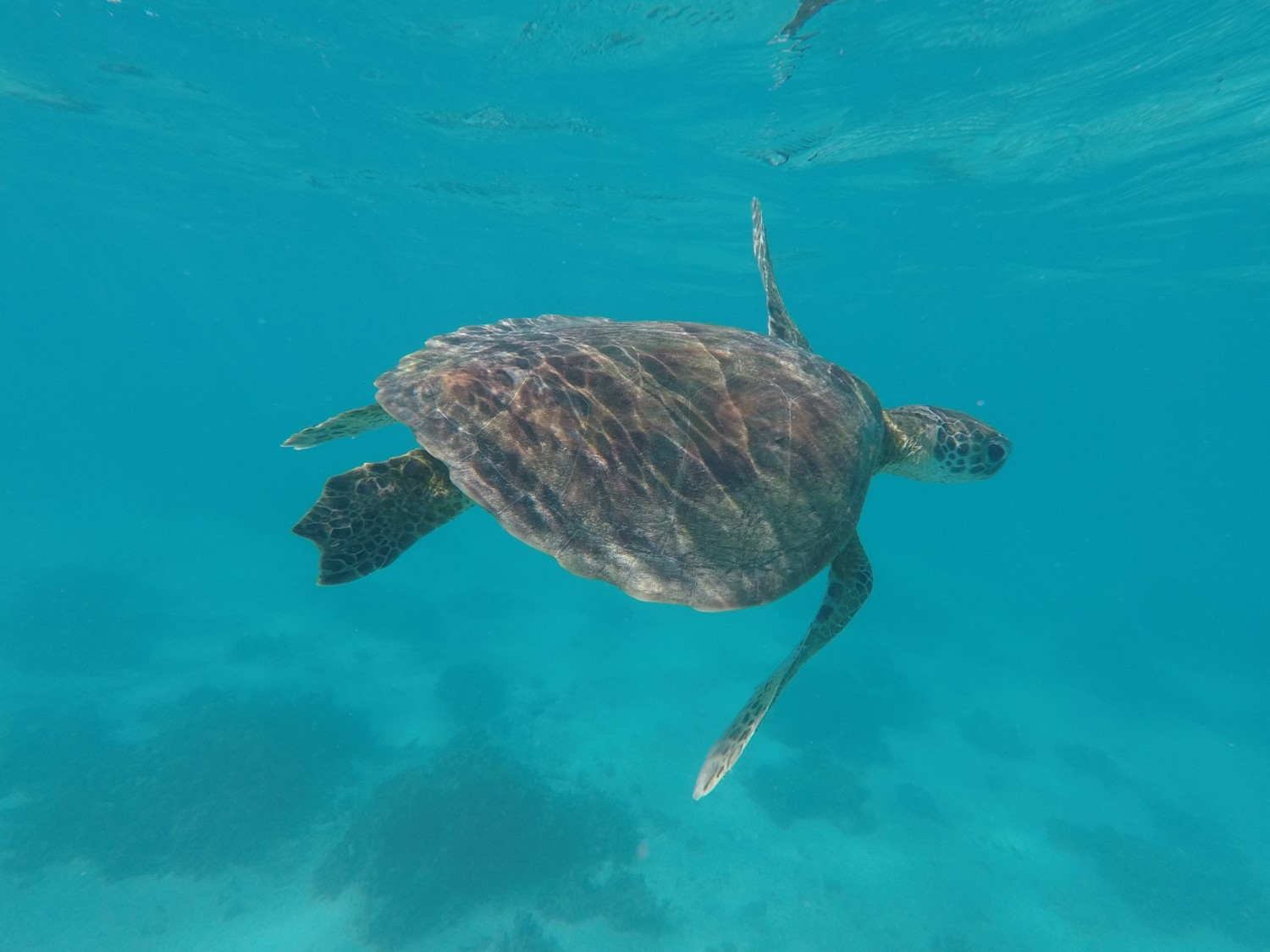 Tortue nager