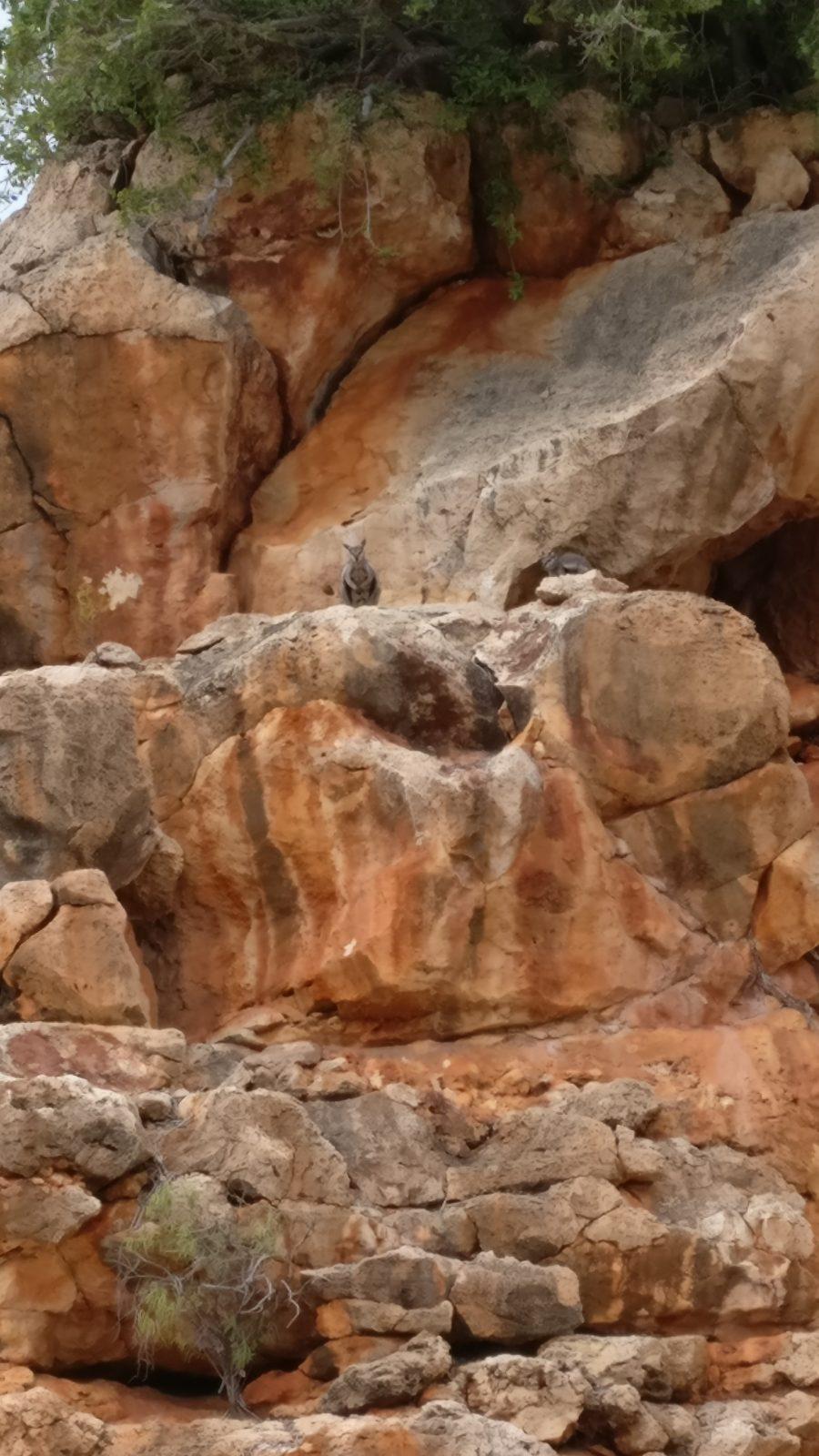 Wallabies des rochers