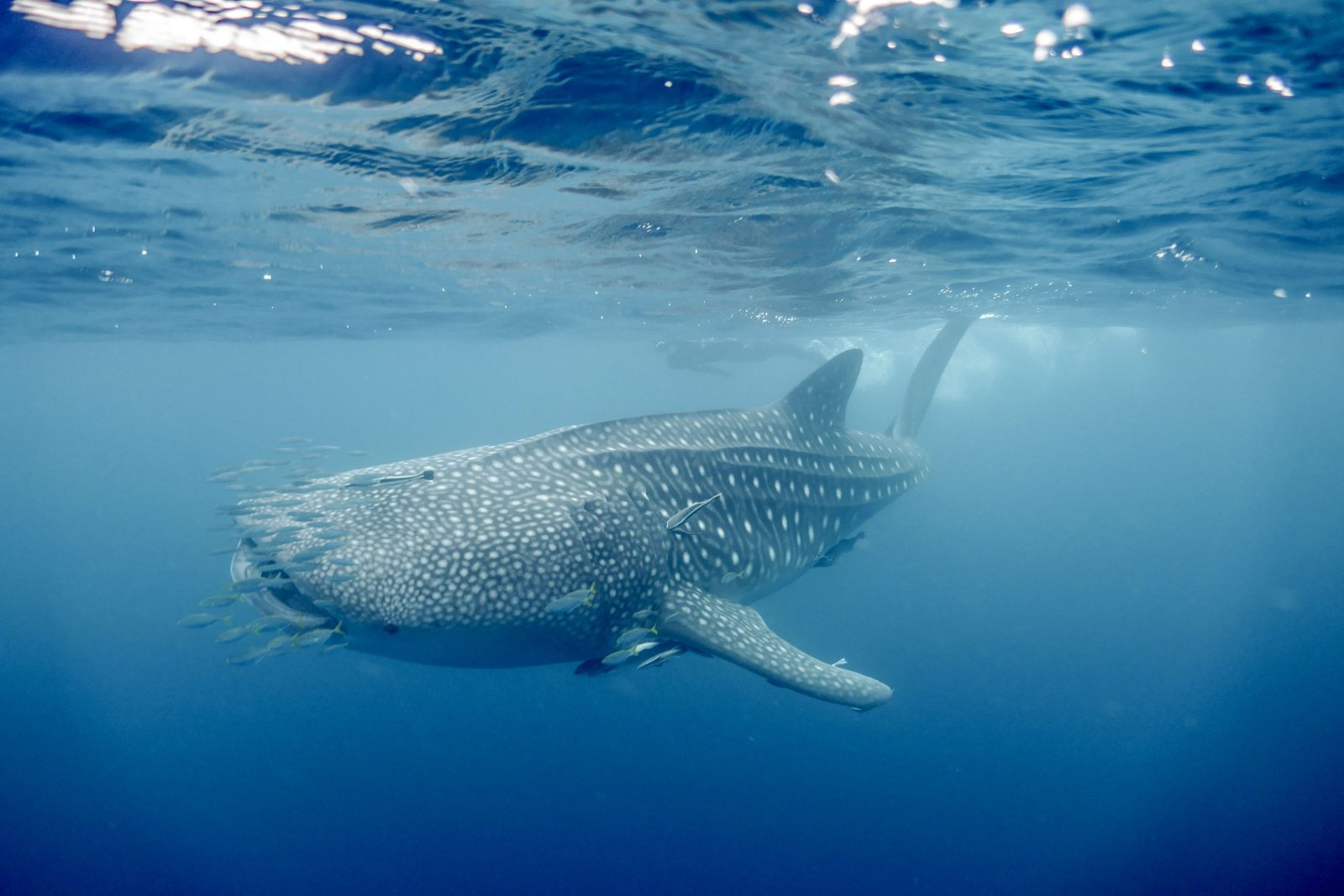 Enorme requin-baleine Ningaloo Reef