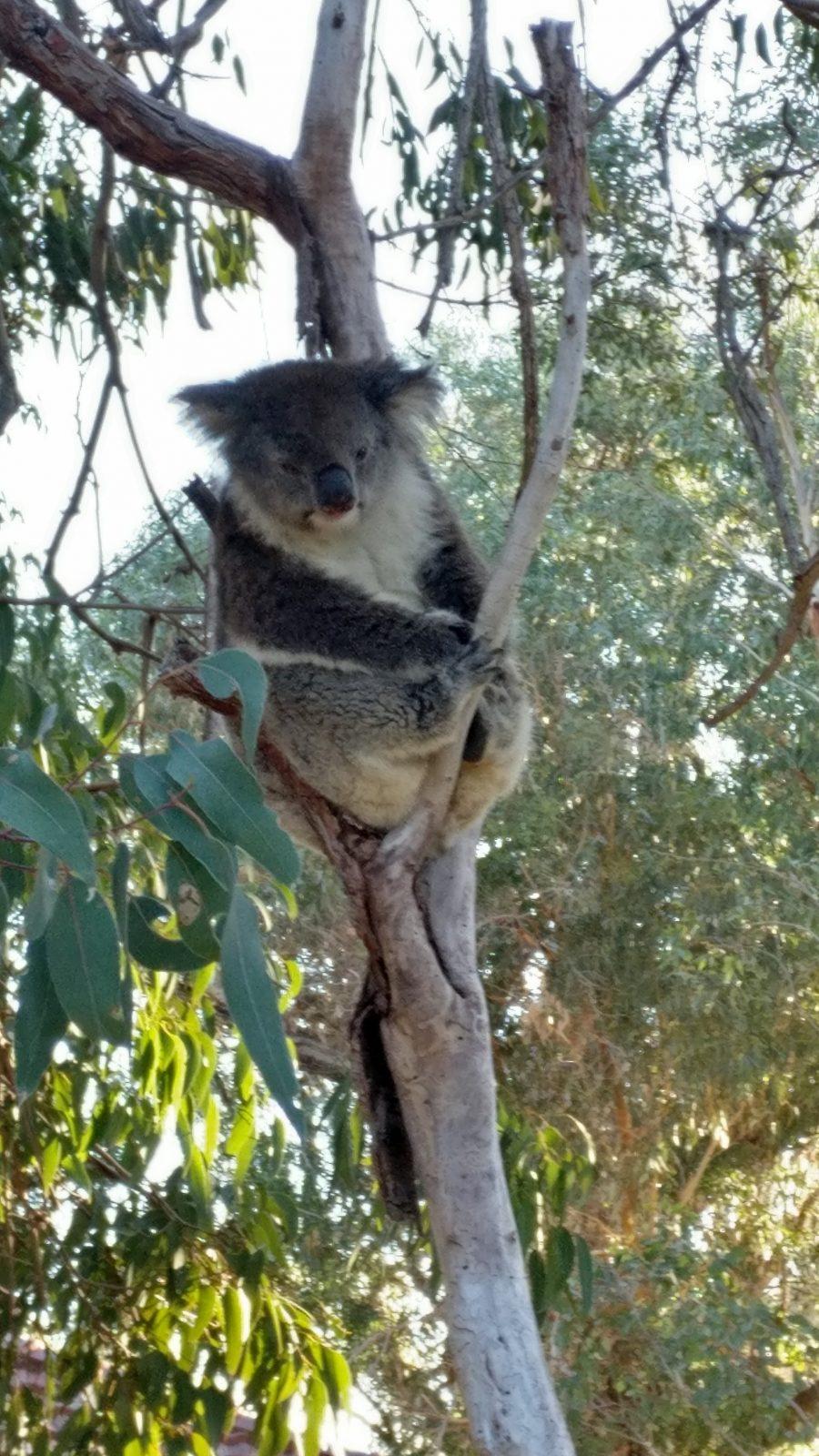Koala Yanchep National Park